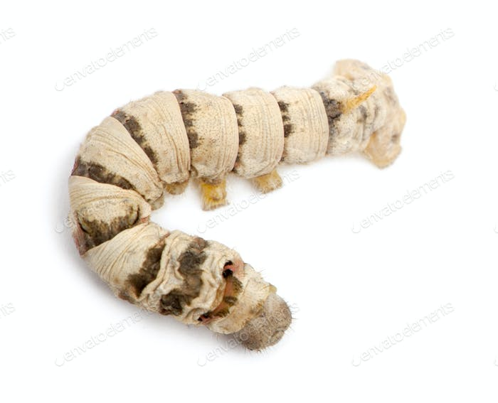 Silkworm larvae, Bombyx mori, against white background