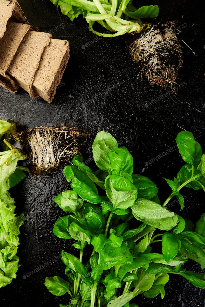 Flat lay of Gardening tools, basil, eco flowerpot, soil on black background.
