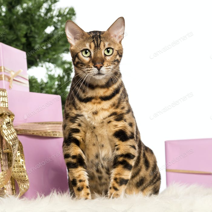 Bengal sitting in front of Christmas decorations against white background