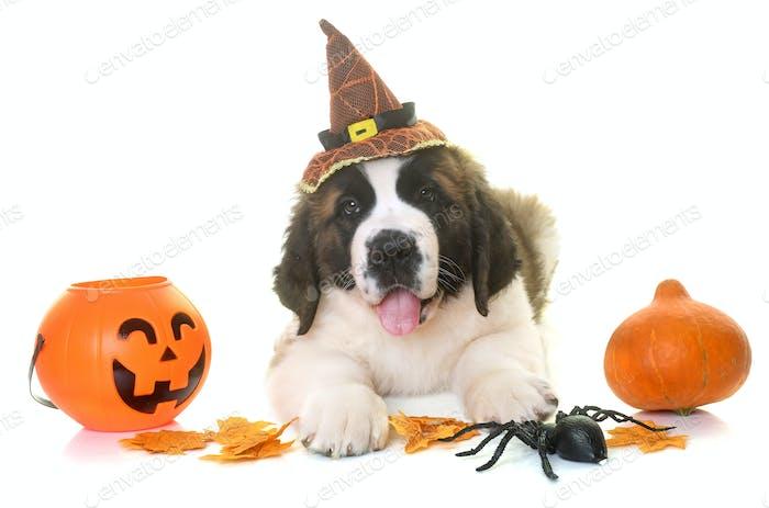 puppy saint bernard and halloween