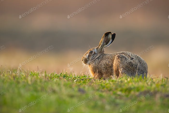 Cute brown hare with long ears hiding on a meadow in spring nature at sunrise