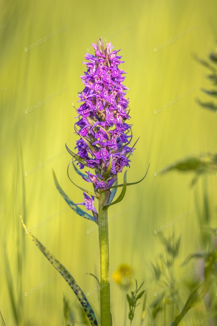 Vivid Purple orchid flower