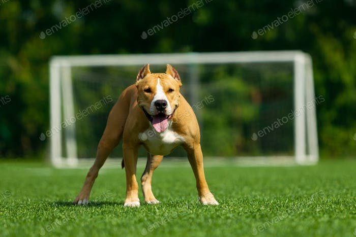 American Staffordshire Terrier Hund an einem Sommertag