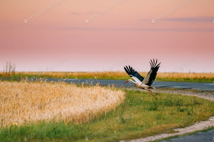 Adult European White Stork Taking Off From Agricultural Field In