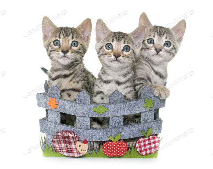 bengal kitten in basket