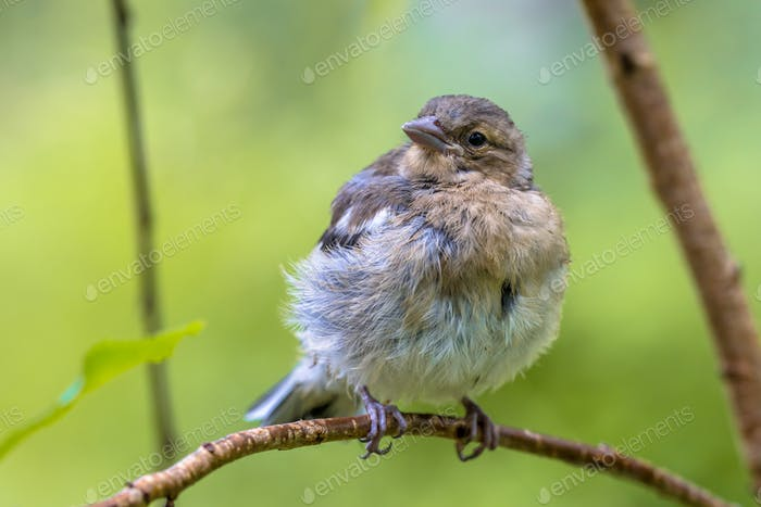 Juvenile Chaffinch perched on branch