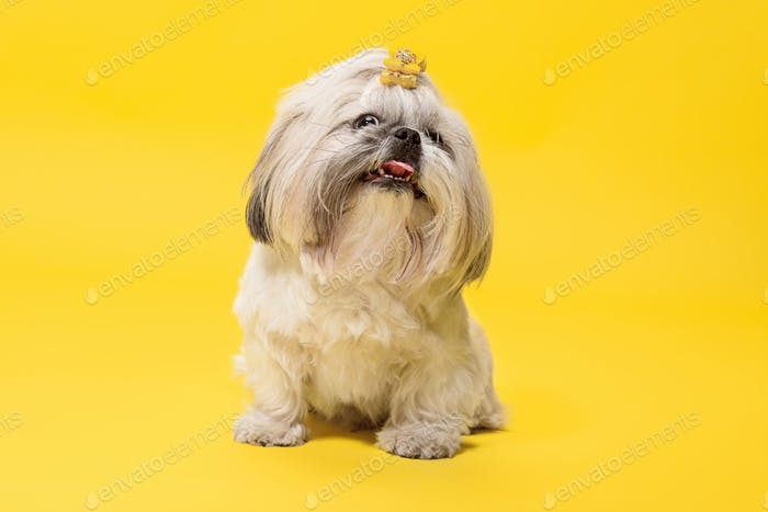 Cute shih tzu is sitting on the yellow background. Shih Tzu the Chrysanthemum Dog