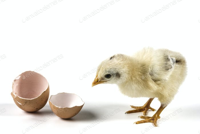 Chicken From Egg