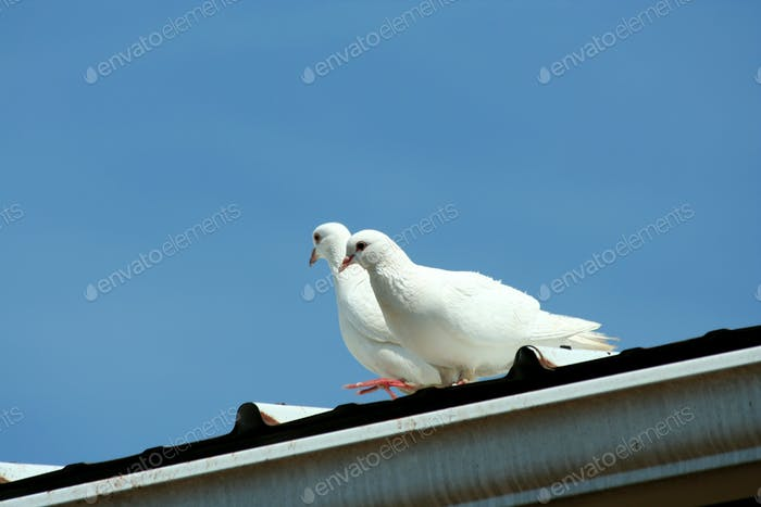 White doves with blue sky