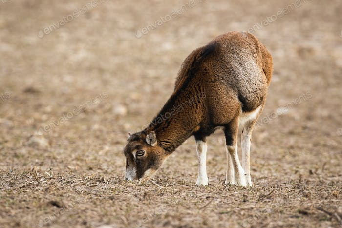 Wild mouflon female sheep grazing on a field with short dry grass in winter