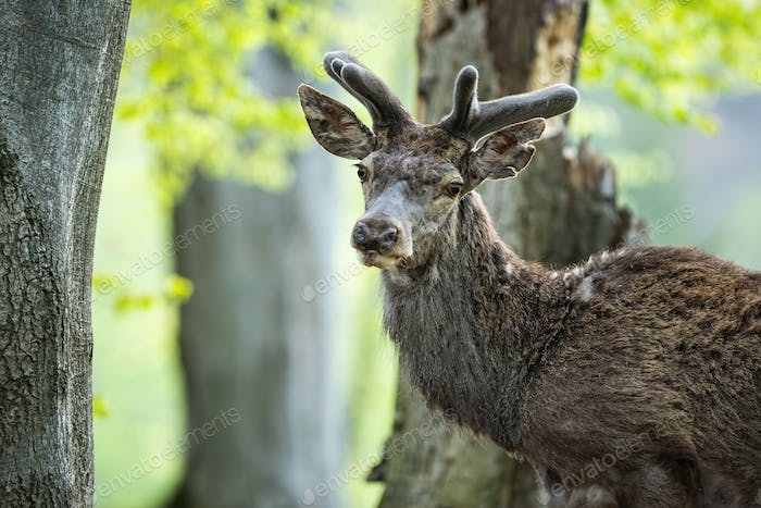 Quiet red deer stag facing camera in close-up view in spring forest