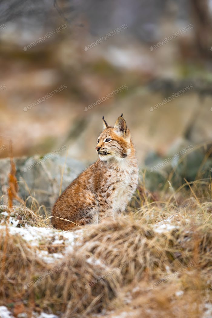 Eurasian lynx look sideways in the forest at winter