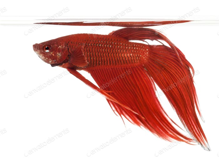 Side view of a Siamese fighting fish, Betta splendens, against white background