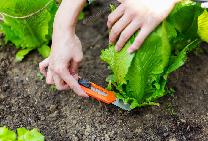 Landwirtschaft von Salat im Feld