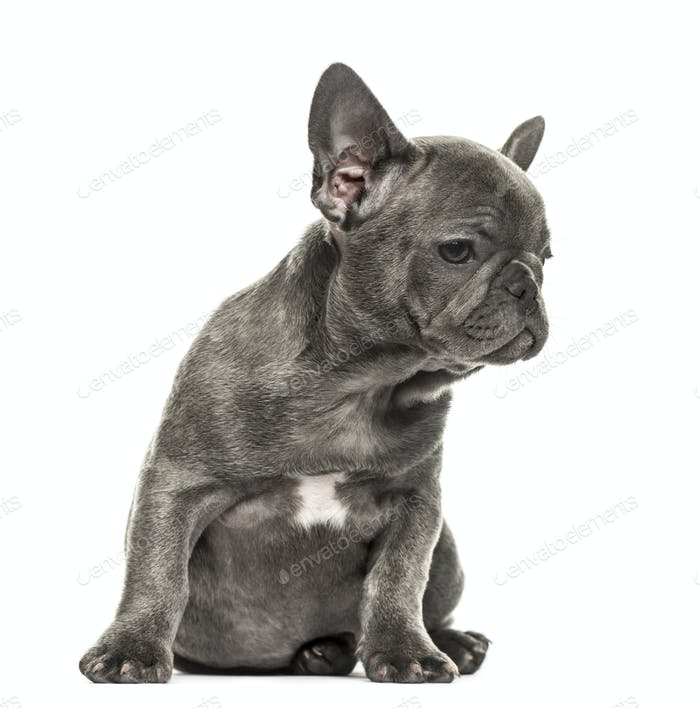 Grey french bulldog puppy sitting, isolated on white