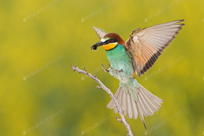 Bee-eater landing on a twig with bee in beak