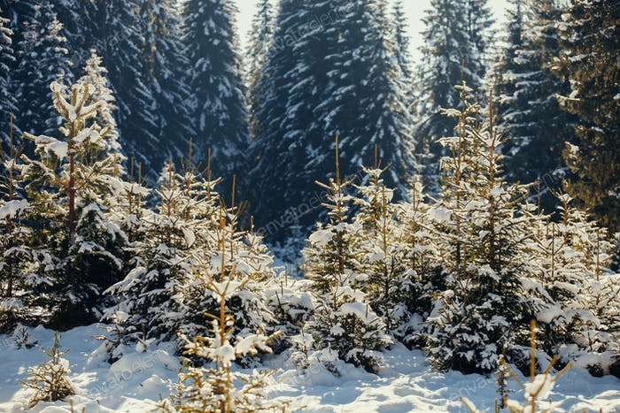 snowy spruce pine forest