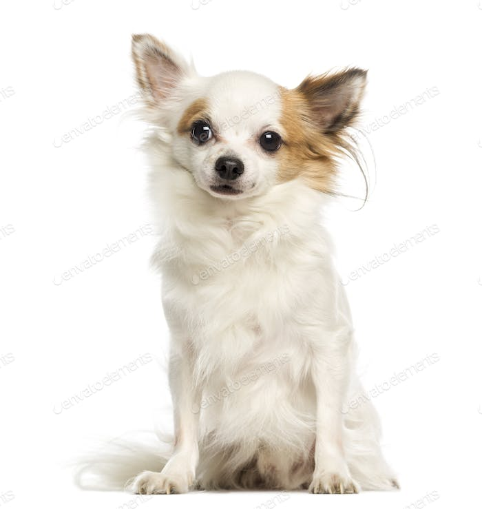 Thumbnail for Chihuahua, 3 years old, sitting and facing, isolated on white
