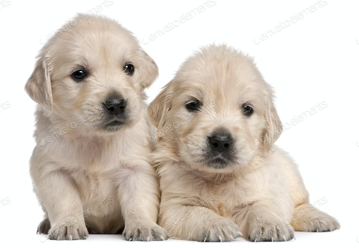 Golden Retriever puppies, 4 weeks old, in front of white background