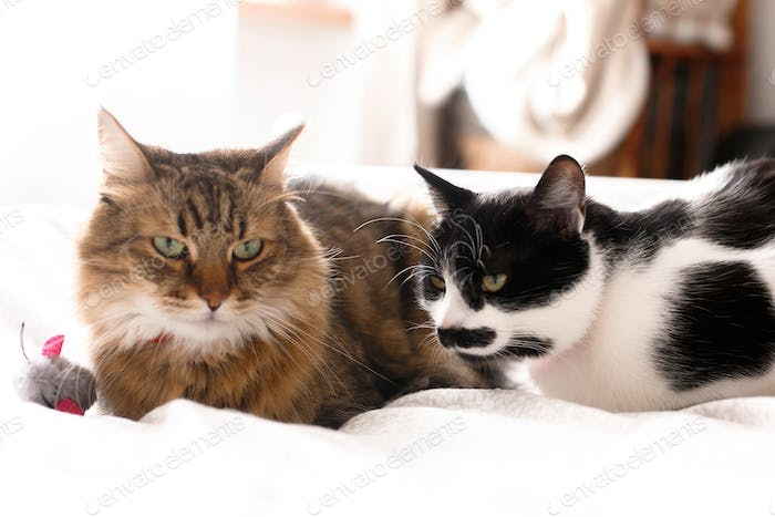 Two cute cats sitting with toy mouse on white bed in sunny stylish room