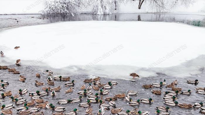 ducks and drakes swimming in pond in winter
