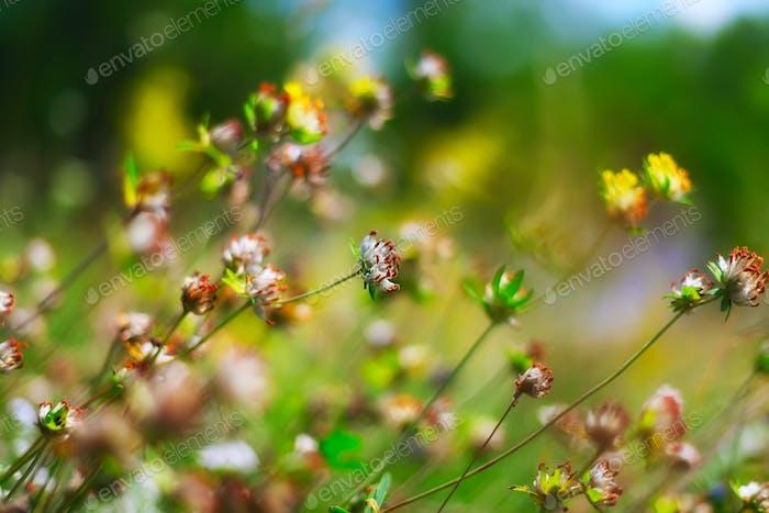 Feld der Kleeblüten
