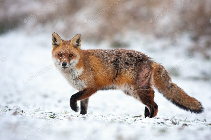 Bruised red fox pursuing prey on a hunt in icy environment