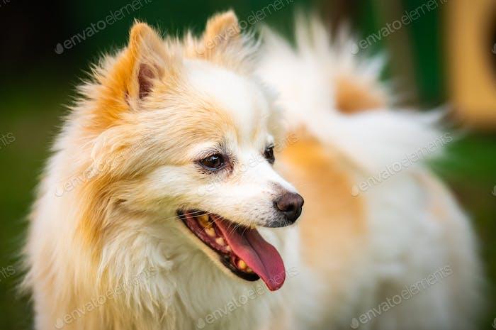Pomeranian dog with tongue out closeup portrait