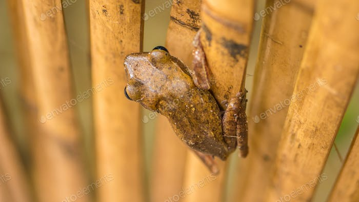 Close up of Beautiful Frog on Dry Bamboo Stick. Top Short Perspective. Koh Tao, Thailand