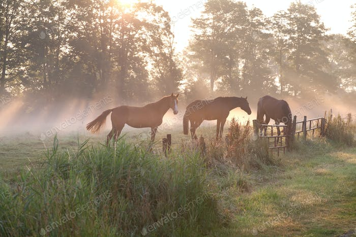 horses in misty sunbeams