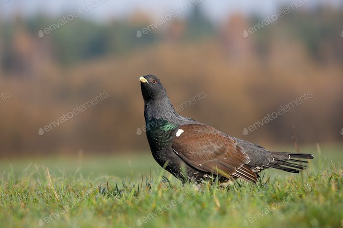 Western capercaillie observing on grassland in autumn
