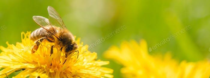 Honigbiene bedeckt mit gelben Pollen sammeln Nektar aus Löwenzahnblüte.
