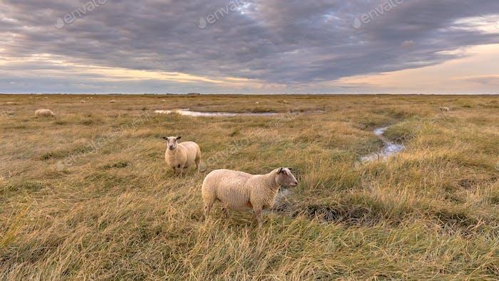 Sheep in Tidal Marshland nature reserve Saeftinghe