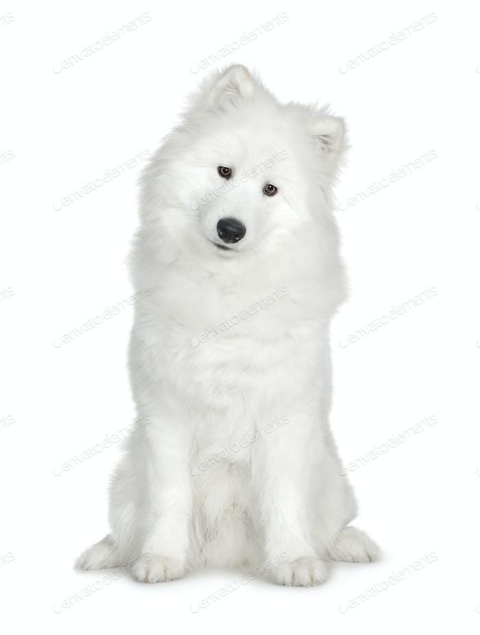 Samoyed  (6 months)
