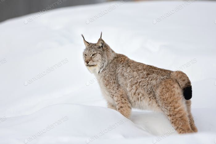 Full length side view of lynx standing on snow