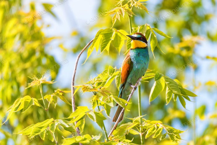 European bee-eater or Merops apiaste perches on branch