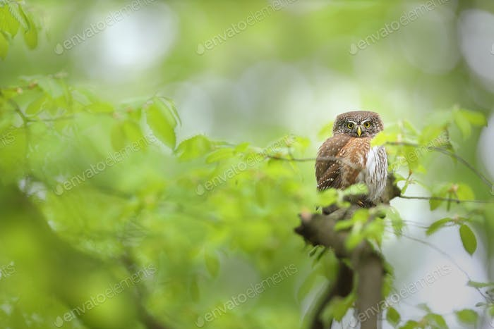 Alert eurasian pygmy owl looking into camera in summer forest with copy space