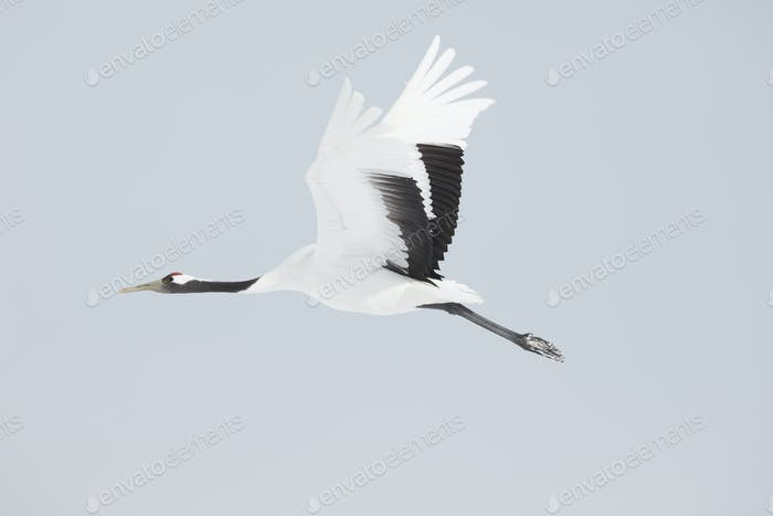 Red-Crowned Cranes (Grus japonensis) mid-air in winter.