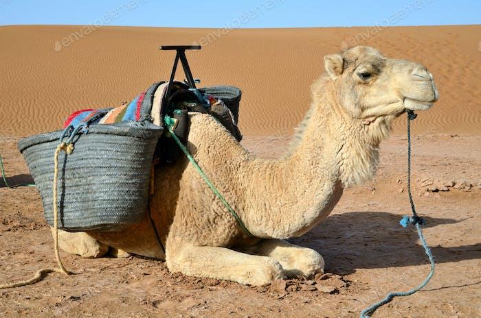 Dromedar in Sahara