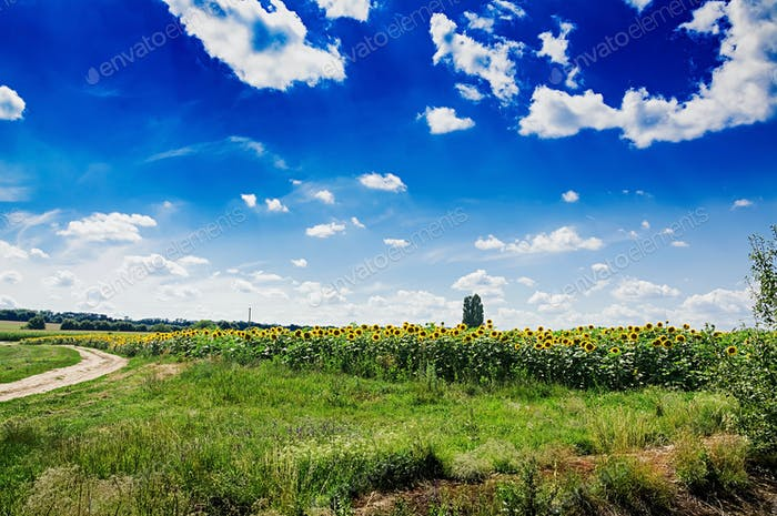 Summer field against the blue sky. Beautiful landscape.