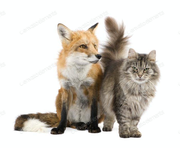 a Fox and a cat