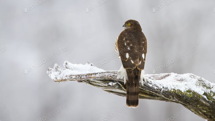 Eurasian sparrowhawk sitting on branch in winter nature