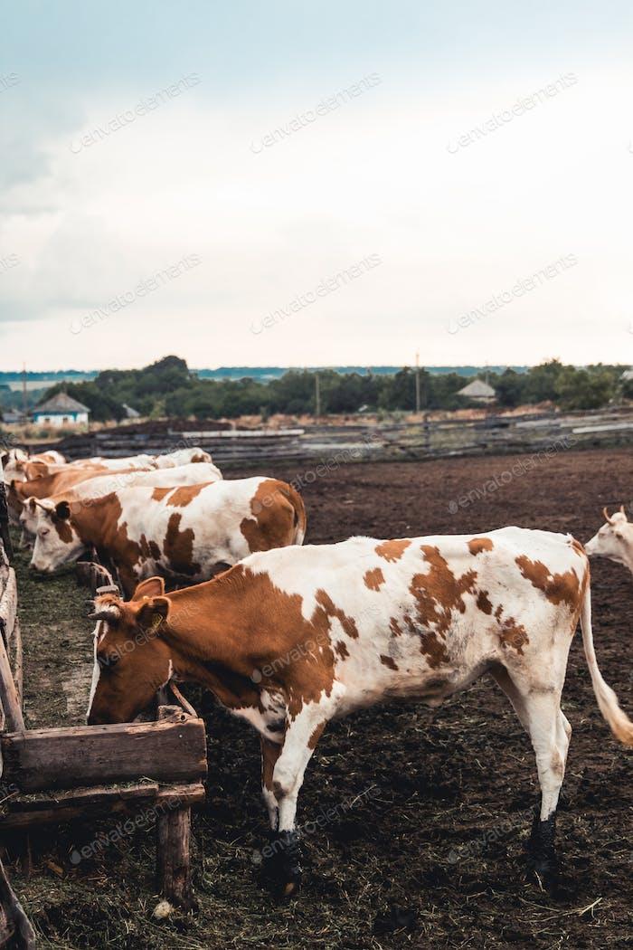 Kühe auf dem Formular. Milcherzeugung. Tiere im Haushalt
