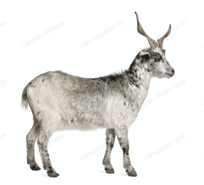 Rove goat, 5 years old, standing in front of white background