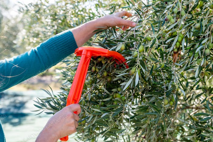 Woman harvesting fresh olives from a tree with rake