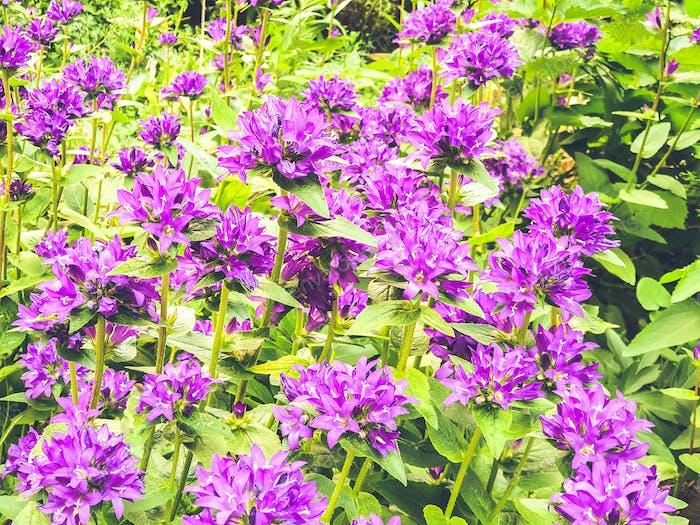 Wachsende Glockenblumen