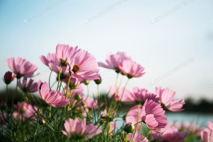Pink cosmos with beautiful