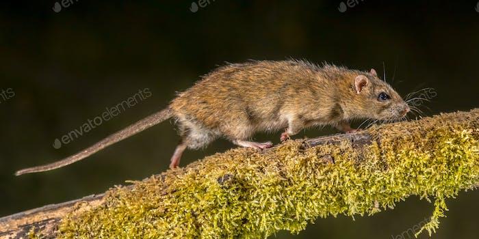 Starke wilde braune Ratte bei Nacht