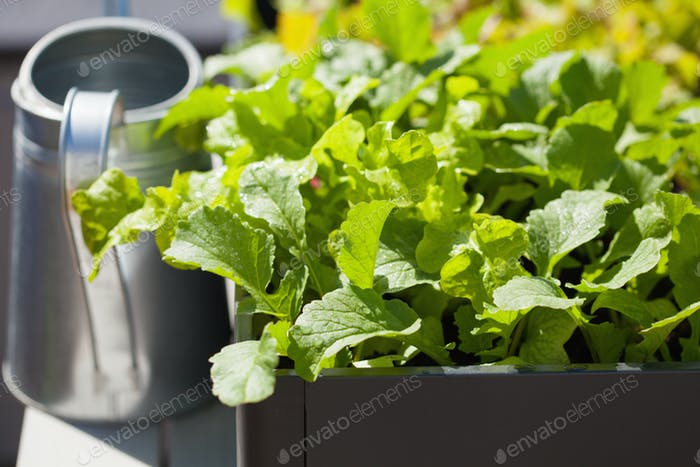 growing radish and salad in container on balcony. vegetable gard
