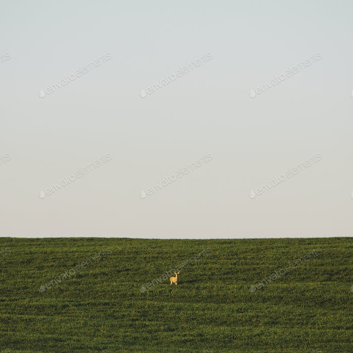 A startled white tail deer in a field of lush, green wheat crop growing